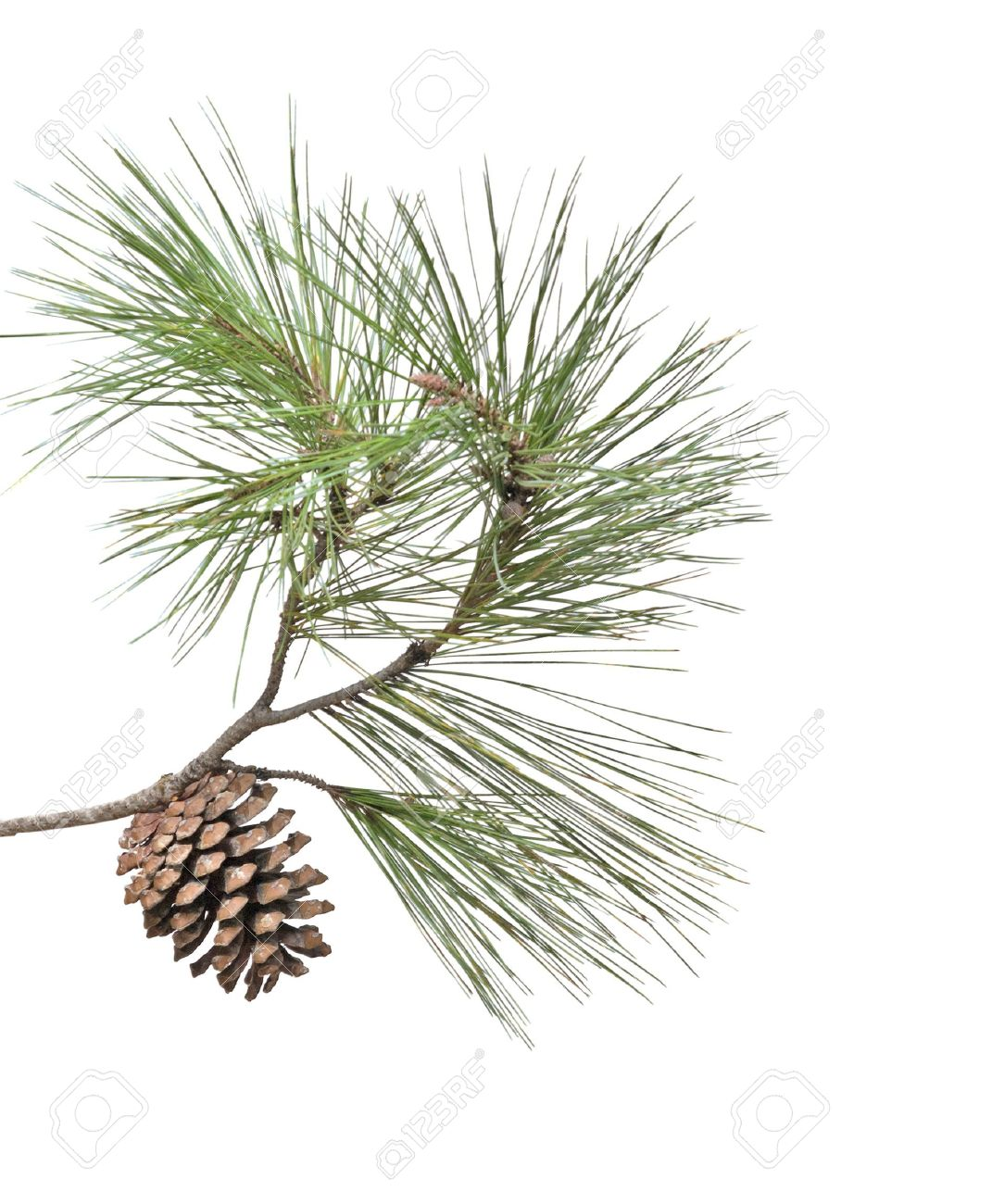 Pine Branch With Cone Isolated On White Background Stock Photo Picture And Royalty Free Image Image 5891313