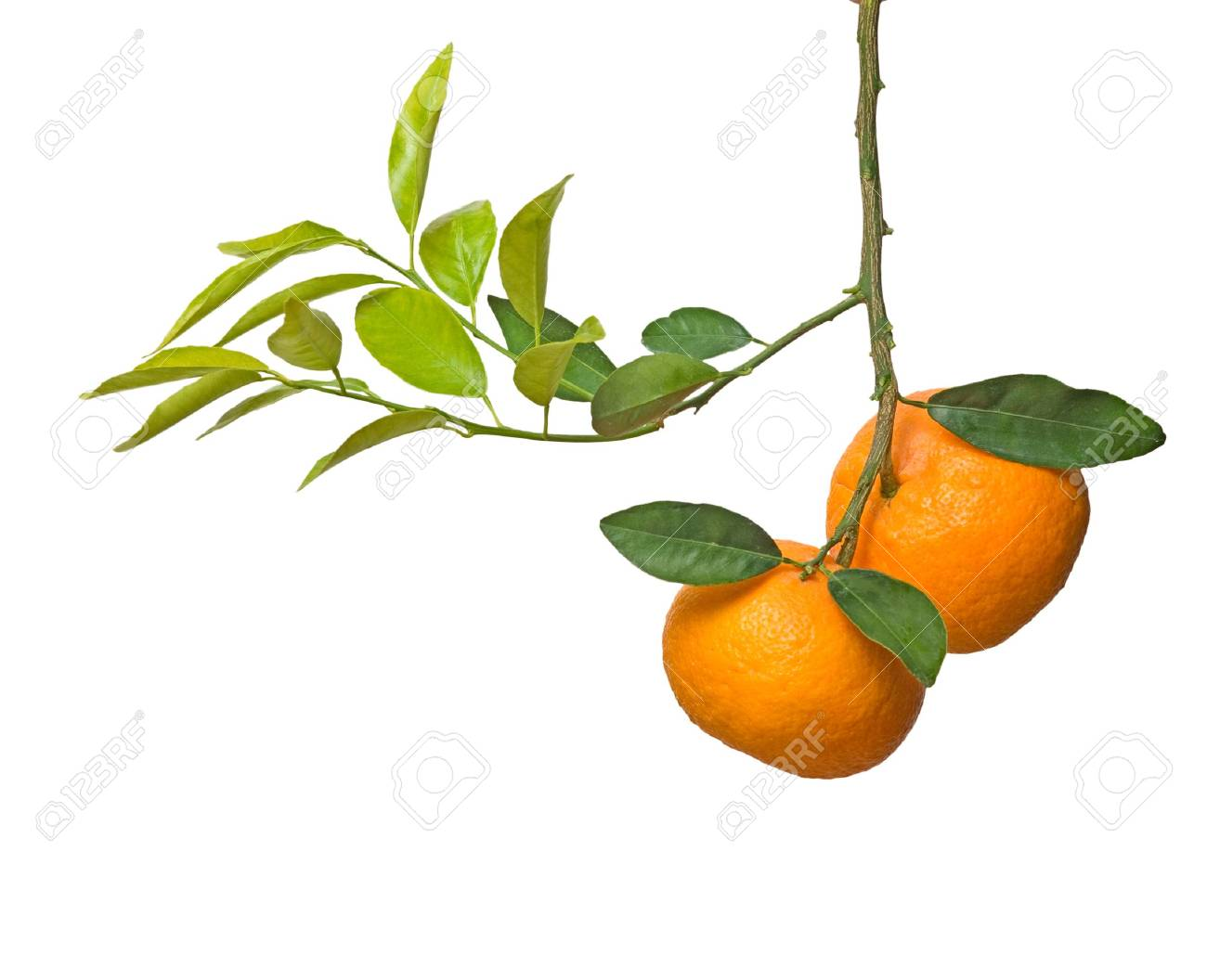Tangerines on branch Stock Photo - 6357694