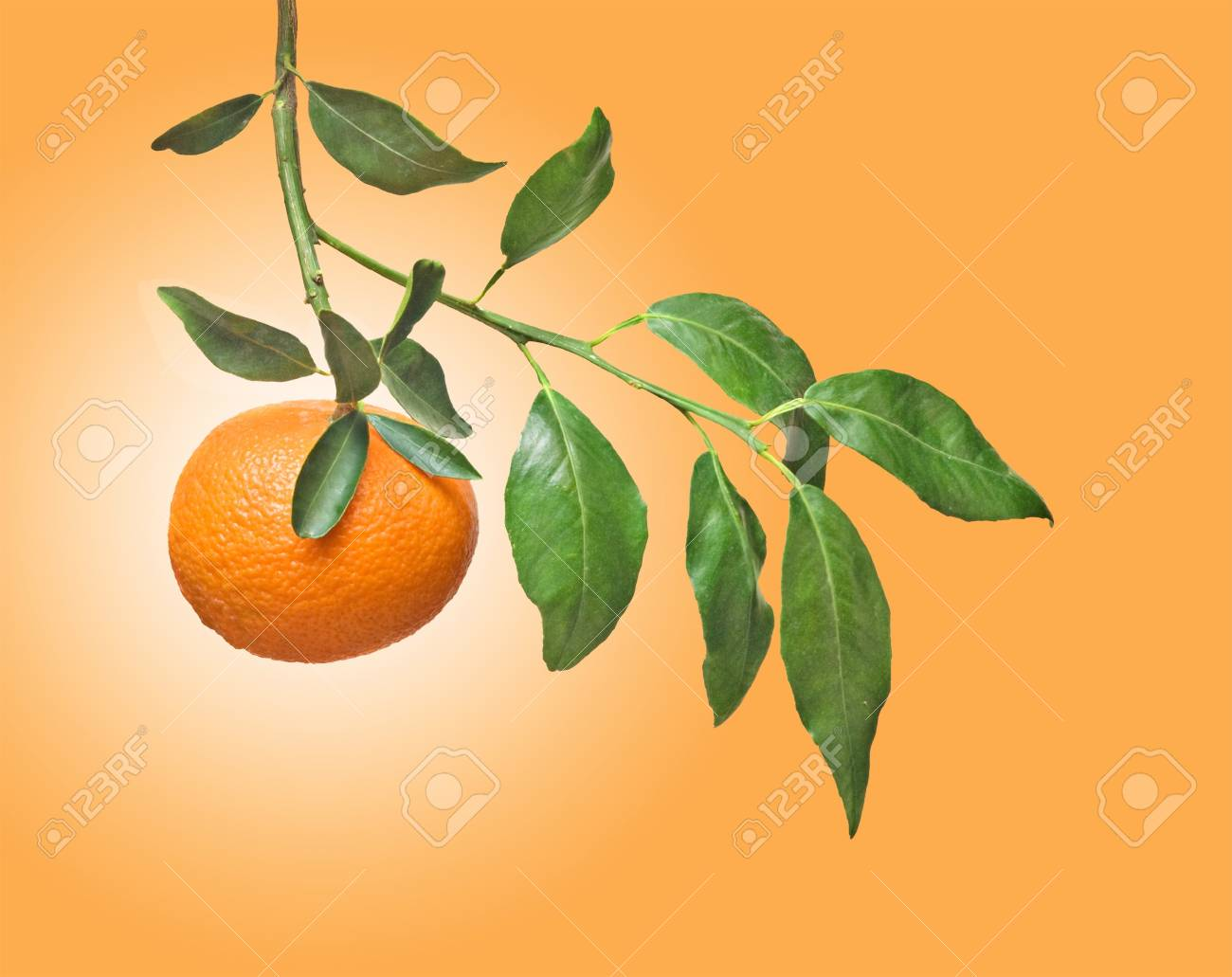 Tangerines on branch Stock Photo - 6910752