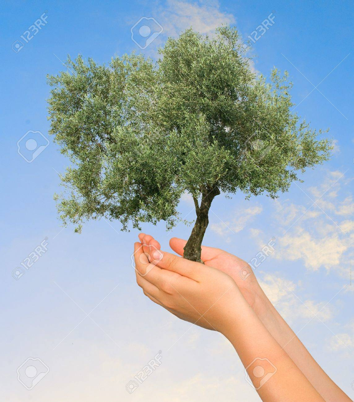 Olive tree  in hands as a symbol of nature protection Stock Photo - 7643526