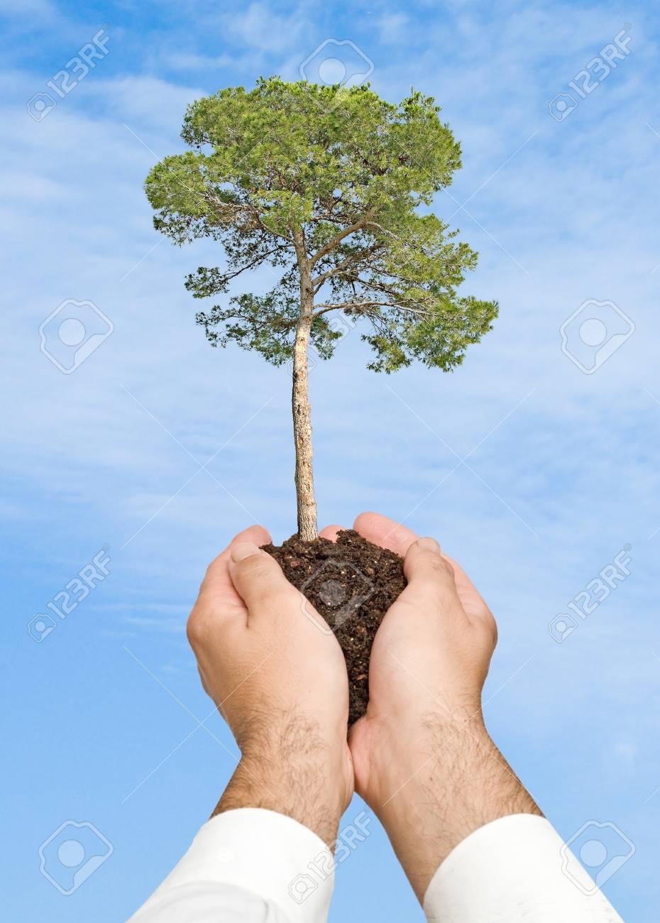Pine tree in hands Stock Photo - 9539437