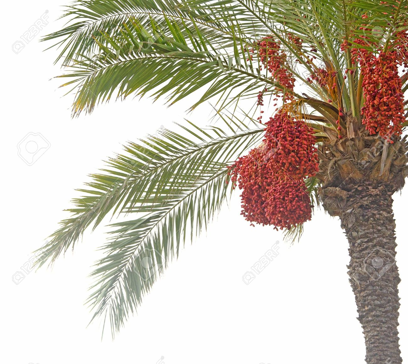 date palm Stock Photo - 10877728