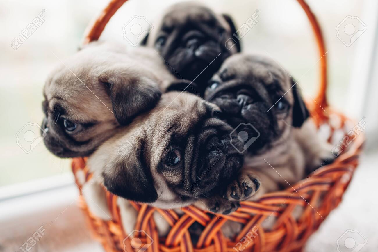 Pug Dog Puppies Sitting In Basket On Window Sill Little Puppies Stock Photo Picture And Royalty Free Image Image 120921866