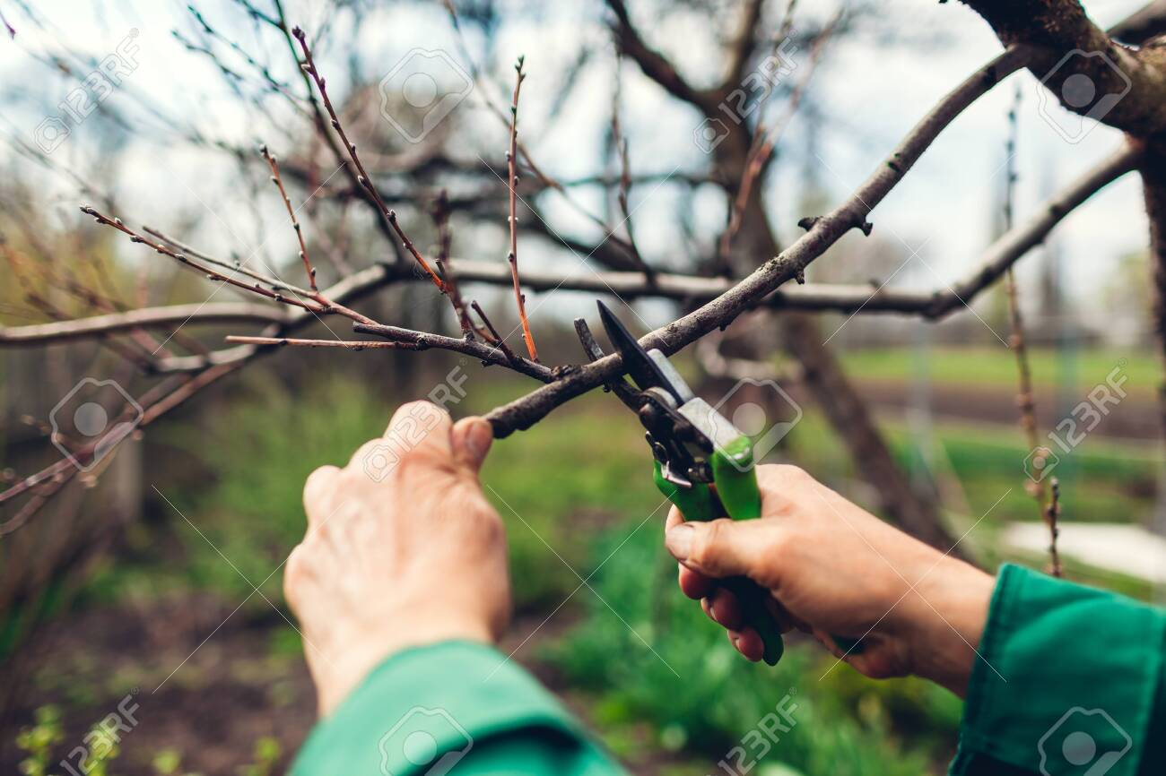 Man worker pruning tree with clippers. Male farmer wearing uniform cuts branches in spring garden with pruning shears or secateurs - 121140578