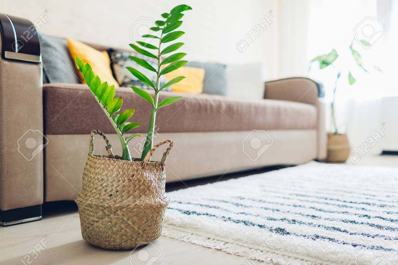Home Zz Plant Put In Straw Basket Interior Decor Of Living Room Stock Photo Picture And Royalty Free Image Image 123892788