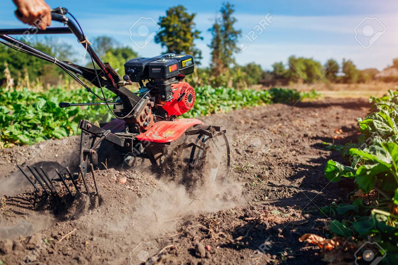 Farmer driving small tractor for soil cultivation and potato digging. Autumn harvest potato picking. Gathering fall crop in countryside - 130649968