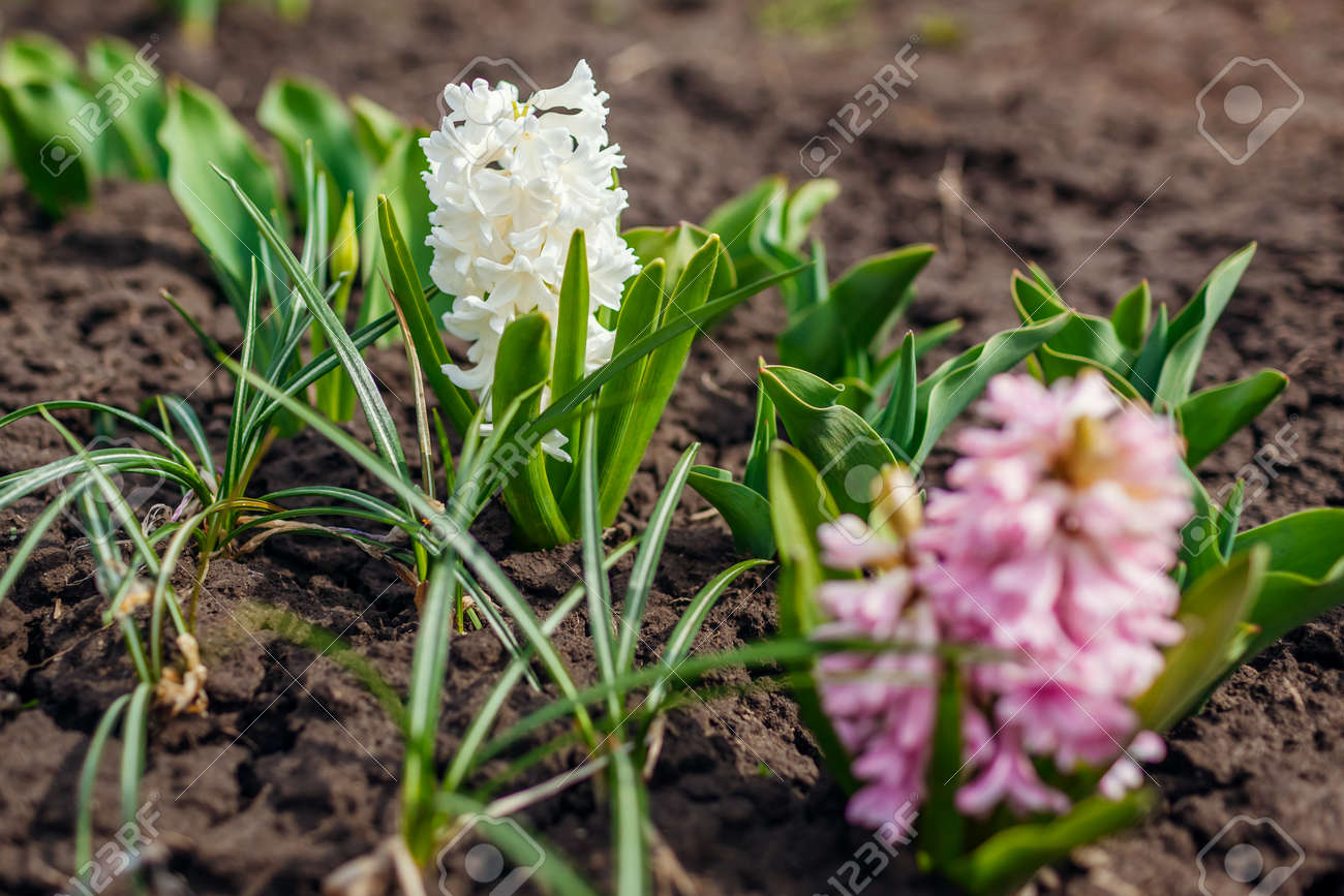 White and pink hyacinths blooming in spring garden. April flowers in blossom. Nature awakening from winter - 168610510