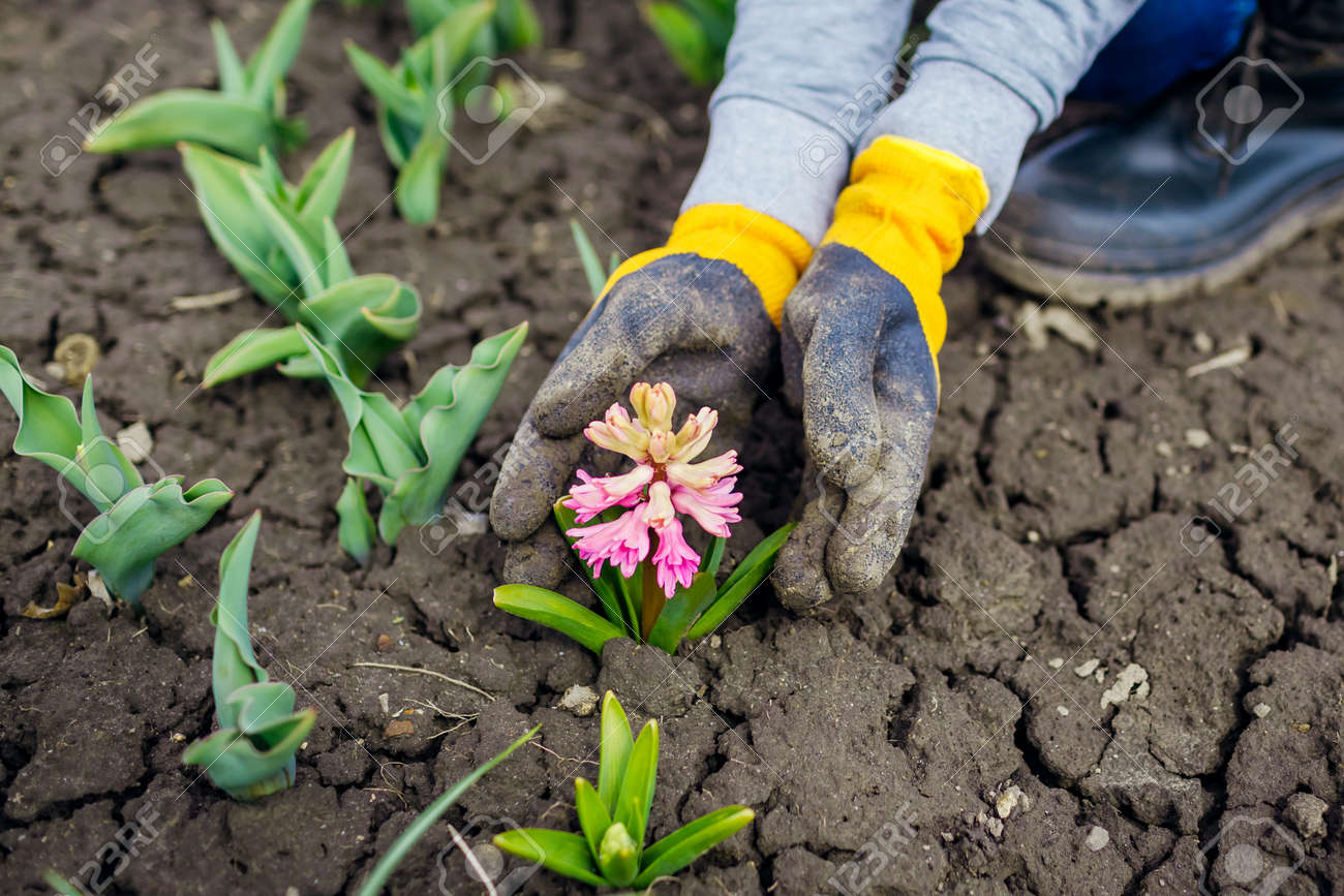 Gardener admires blooming pink hyacinth in spring garden. First flowers in blossom. Woman wearing gloves holding plant - 168610523