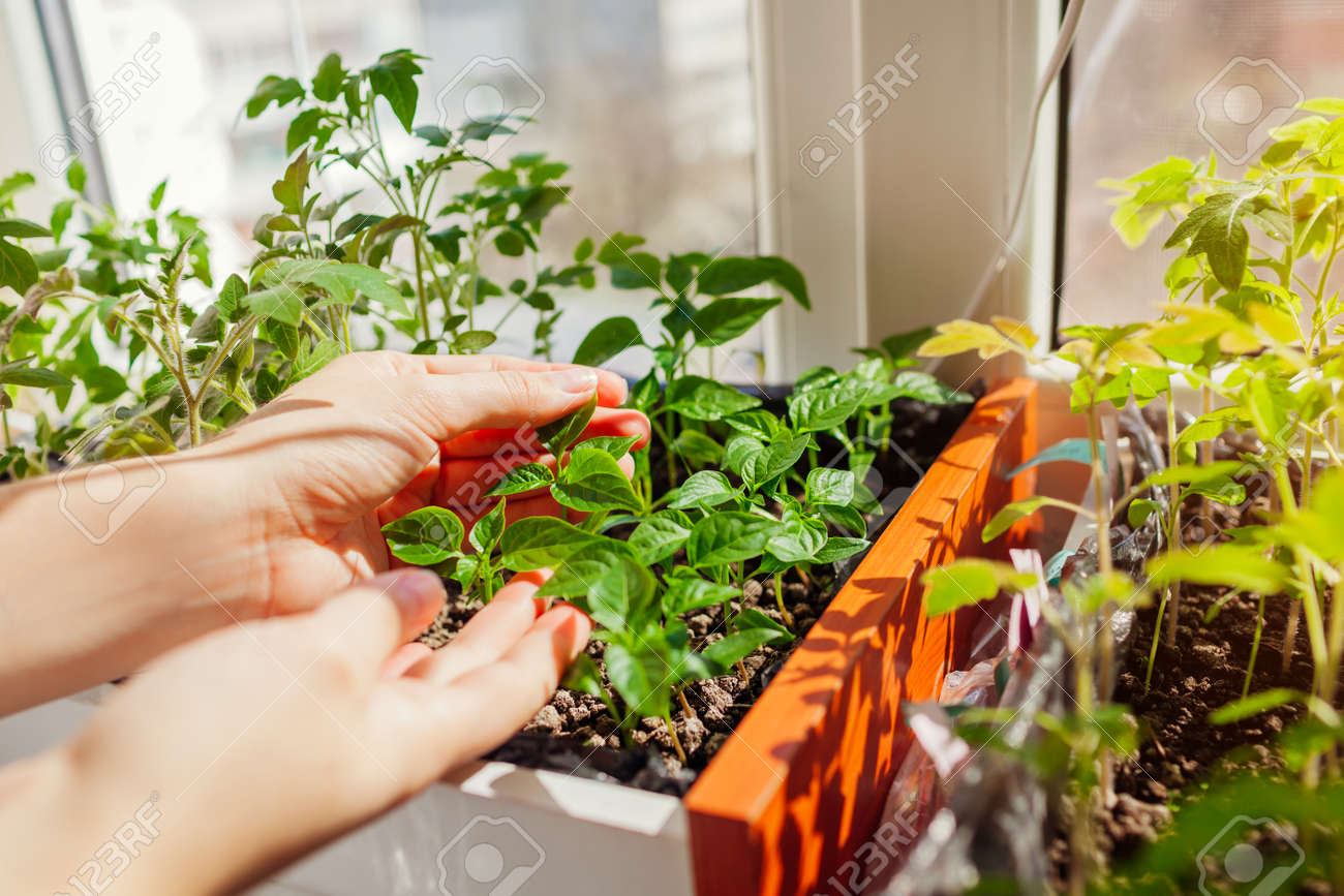 Farmer checking tomato and pepper seedlings in box at home. Spring vegetables growing on window sill. Agriculture and farming. - 168610464