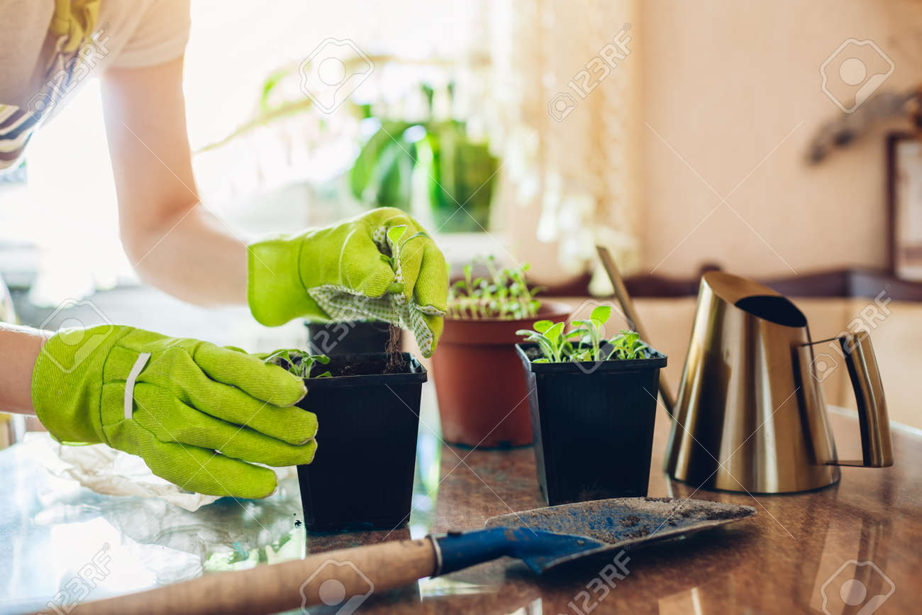 Gardener planting foxglove seedlings in small containers at home. Spring seasonal work. Growing flowers from seeds - 168610412