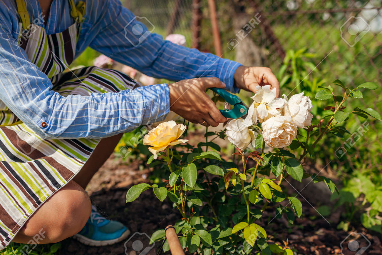 Woman deadheading English spent rose blooms in summer garden. Gardener cutting dry flowers off with pruner. - 171061665