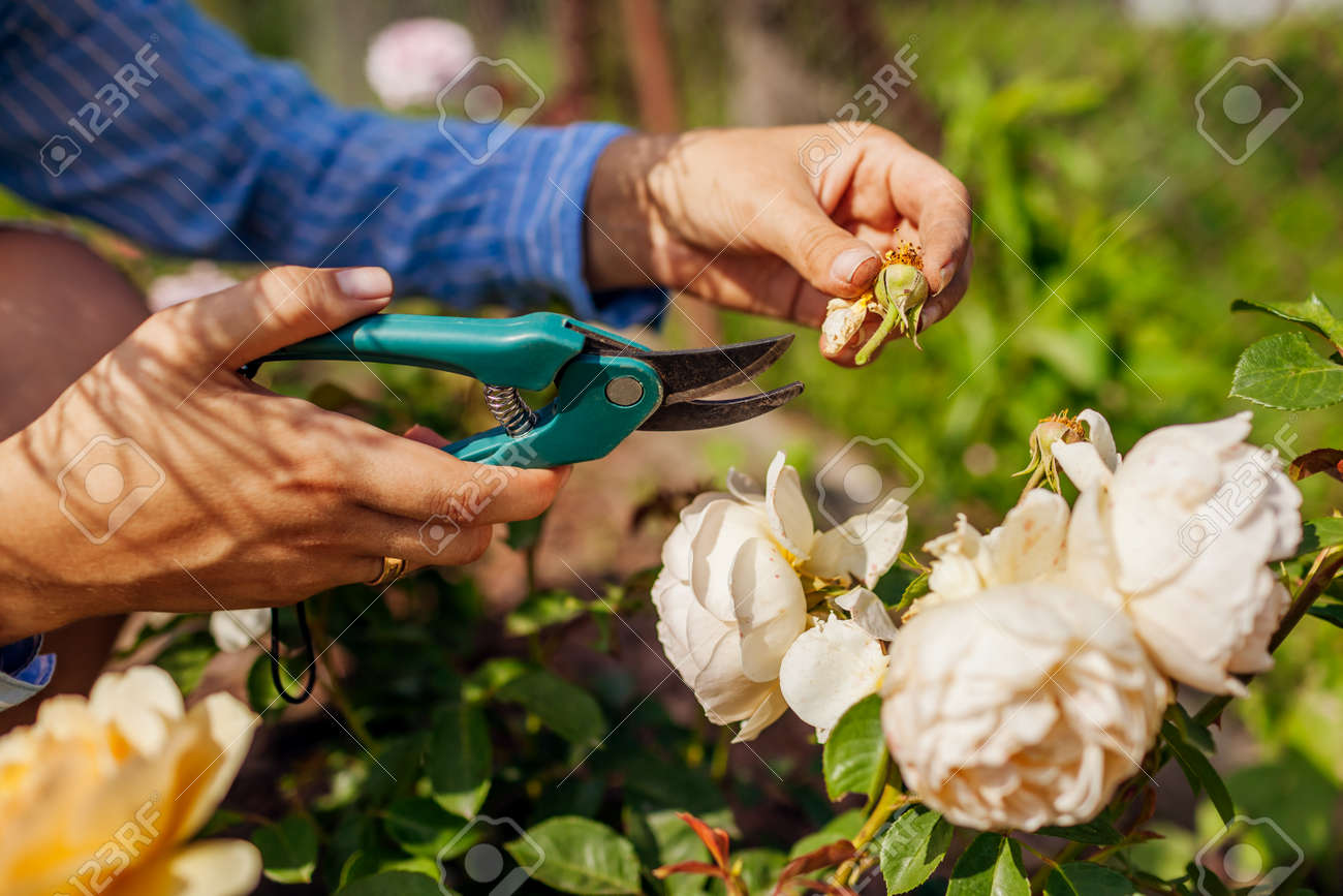 Woman deadheading dry wilted roses in summer garden. Gardener cutting dry flowers off with pruner. Close up of rose hip - 171061738