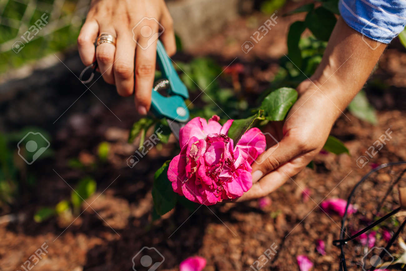 Woman deadheading William Shakespeare wilted roses in summer garden. Gardener cutting dry flowers off with pruner. - 171061724