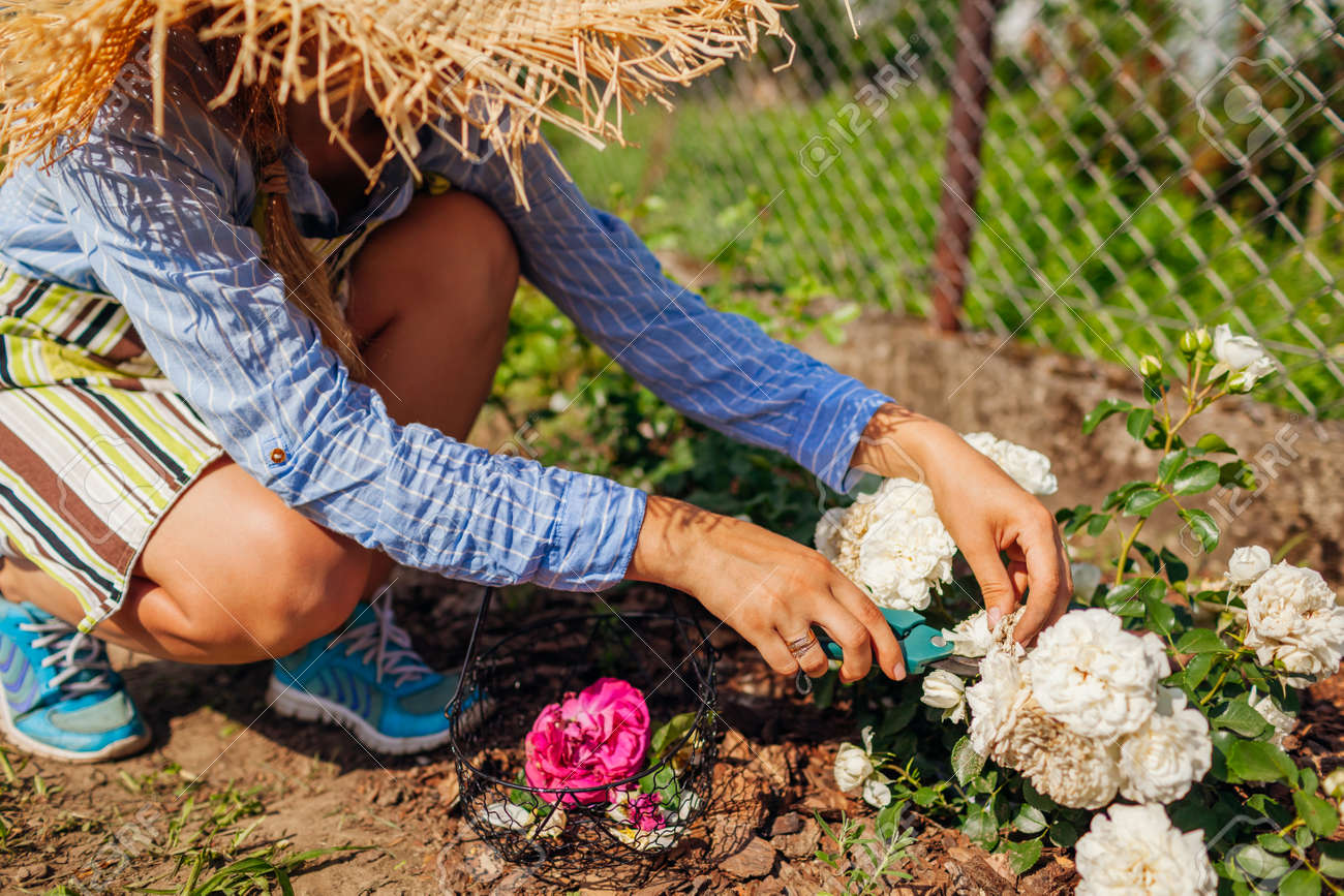 Young woman deadheading white wilted roses in summer garden. Gardener cutting dry flowers off with pruner. Snow ballet - 171061633
