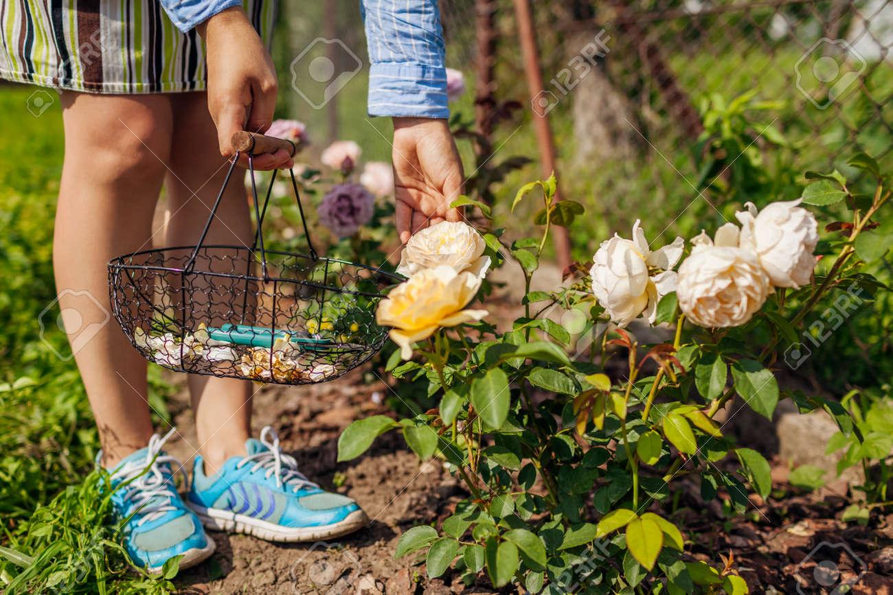 Woman deadheading spent rose blooms in summer garden. Gardener using pruner and basket for work outdoors. - 171111600