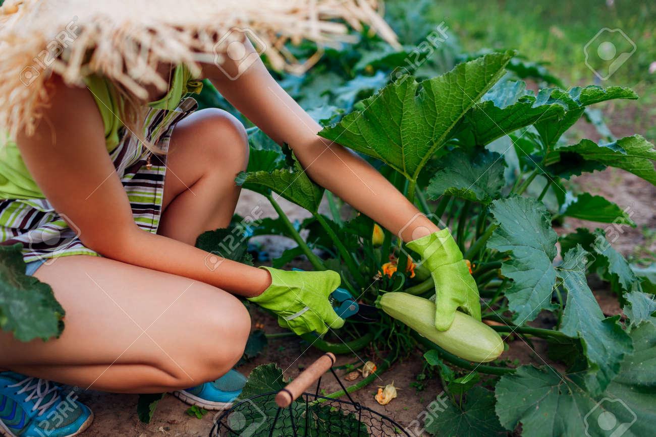 Woman gardener harvesting zucchini in summer garden, cutting them with pruner and putting them in basket. Vegetables crop - 171707484