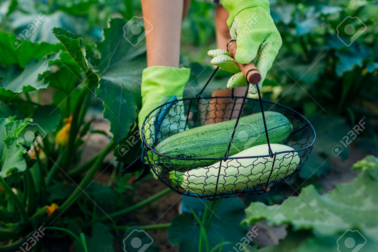Gardener harvesting zucchini in summer garden, holding them in metal basket. Close up of green and white vegetables. Organic homegrown food - 171707486