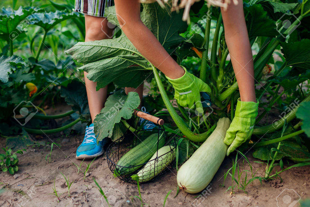 Young woman gardener harvesting zucchini in summer garden, cutting them with pruner and putting fruit in basket. Organic vegetables crop. Healthy food - 171707487
