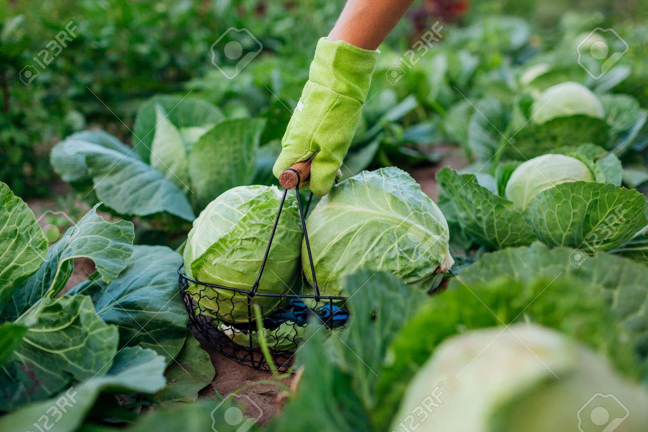 Picking cabbage in summer garden putting vegetable crop in basket. Gardener harvesting organic healthy food. Close up - 171707489