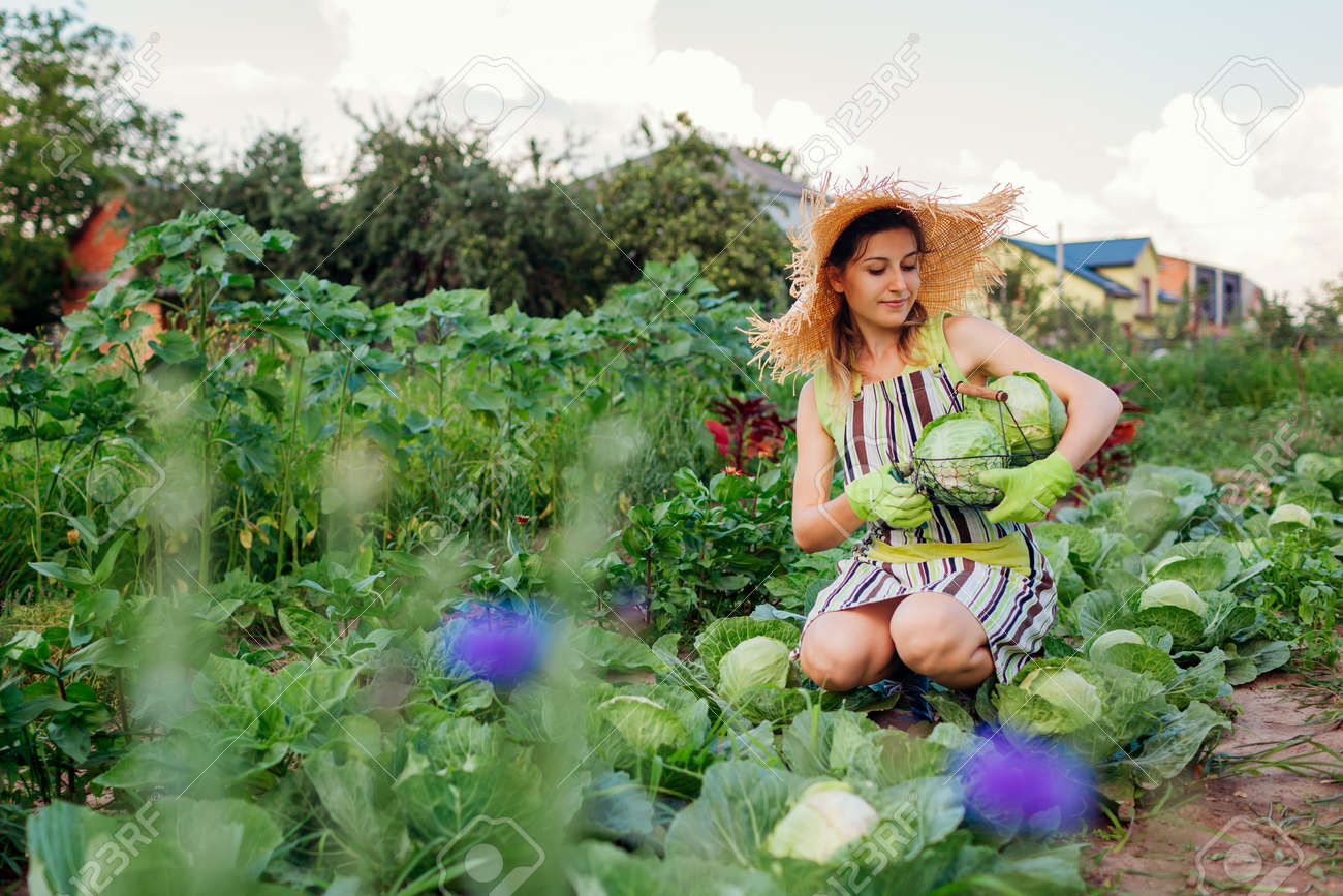 Young woman gardener picking cabbage in summer garden putting vegetable crop in basket. Organic vegetables harvest. Healthy food - 171714533