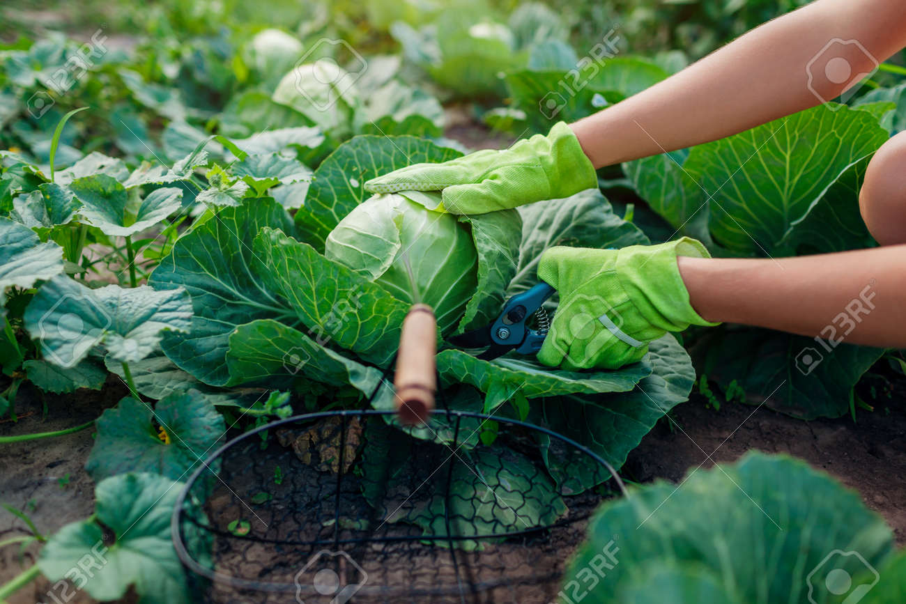Gardener picking cabbage in summer garden, cutting it with pruner and putting vegetable crop in basket Organic vegetables harvest. Close up of healthy food - 171714573