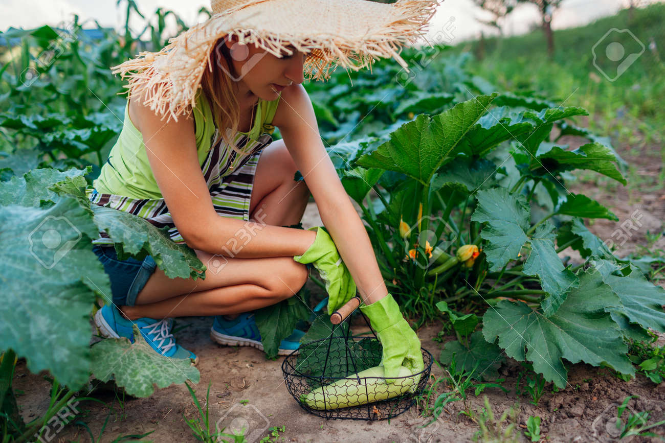 Woman gardener harvesting zucchini in summer garden, cutting them with pruner and putting them in basket. Vegetables crop - 171699273