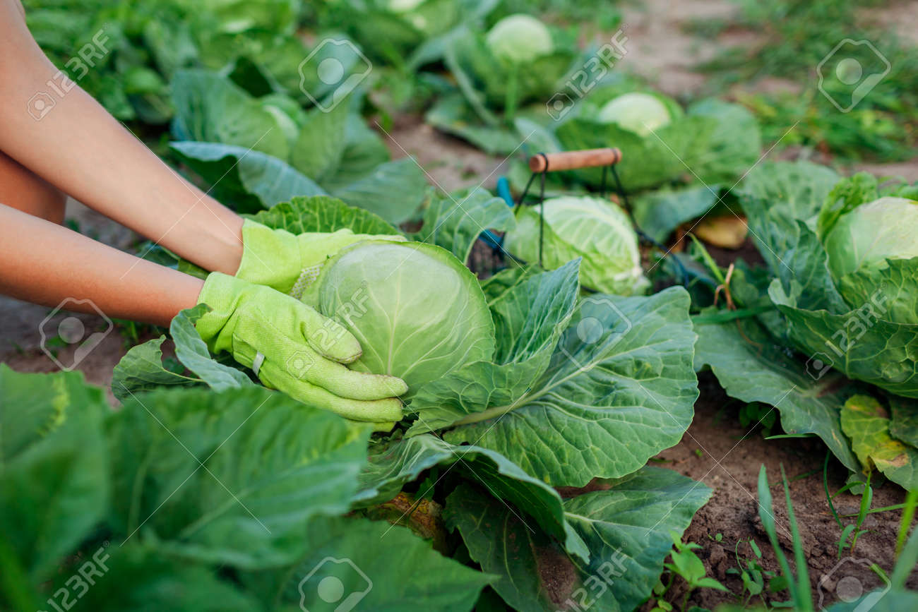 Gardener picking cabbage in summer garden, choosing ripe ready vegetable and putting crop in basket. Close up of organic food. Agriculture - 171714578