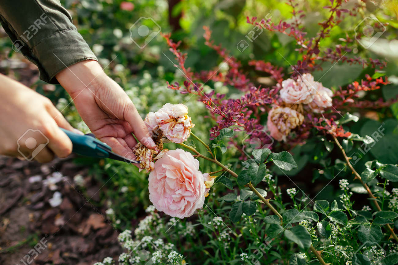 Woman deadheading spent english rose hips in summer garden. Gardener cutting wilted flowers off with pruner. Abraham Darby rose by David Austin - 171891461
