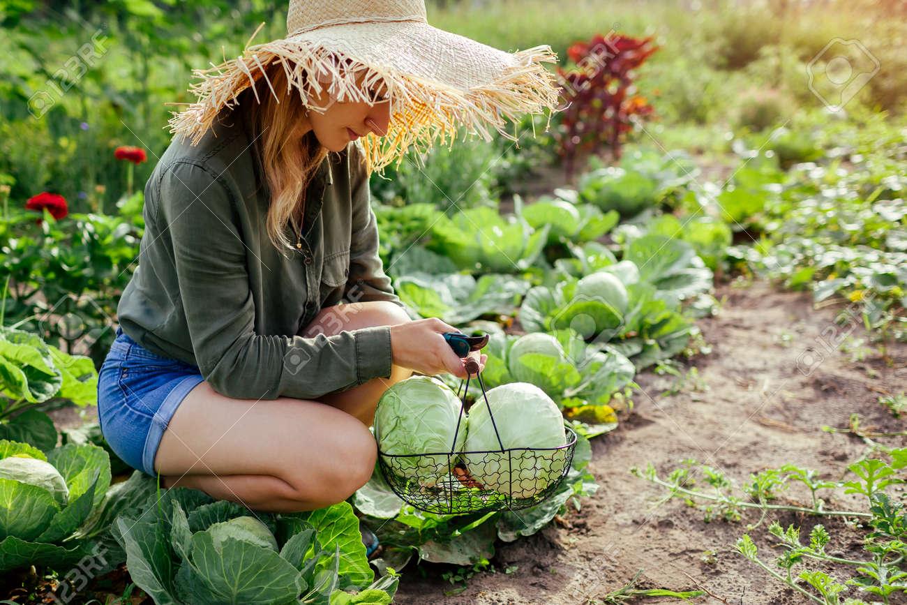 Young woman gardener picking cabbage in summer garden putting vegetable crop in basket. Organic vegetables harvest. Healthy food - 171891462