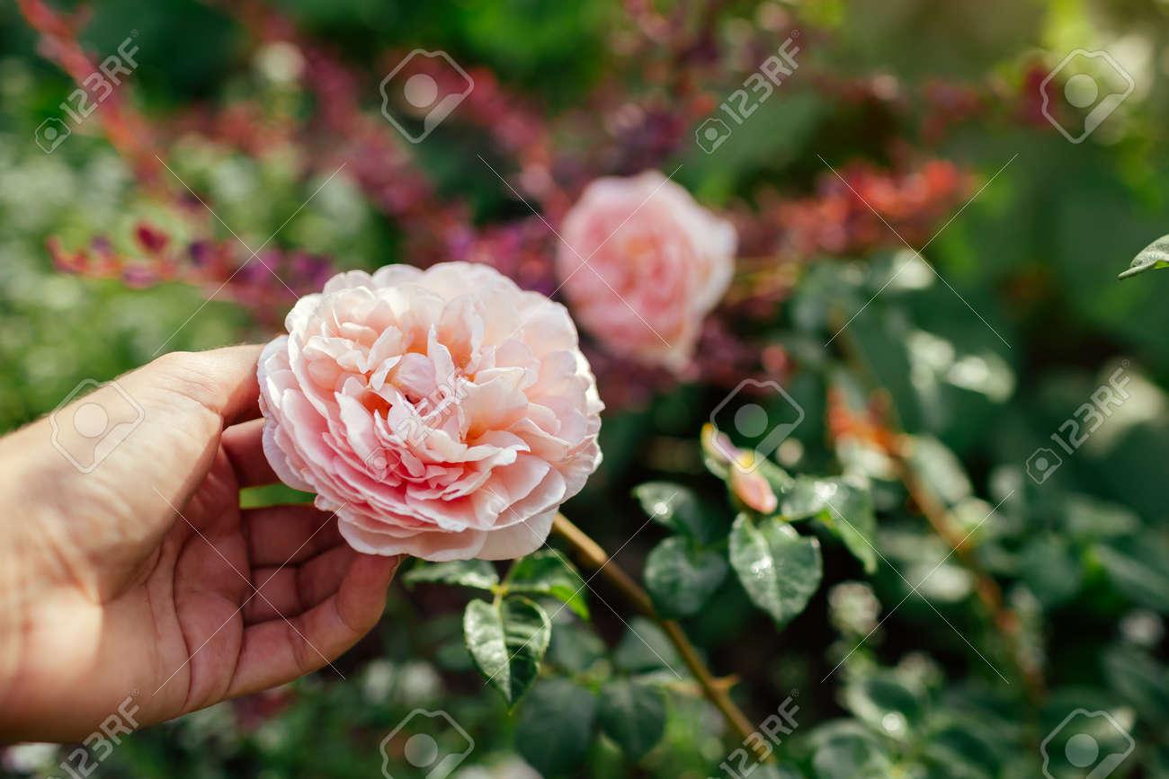 Gardener holds pink rose Abraham Darby blooming in summer garden. English David Austin selection roses flowers. Nostalgic shape - 171871849