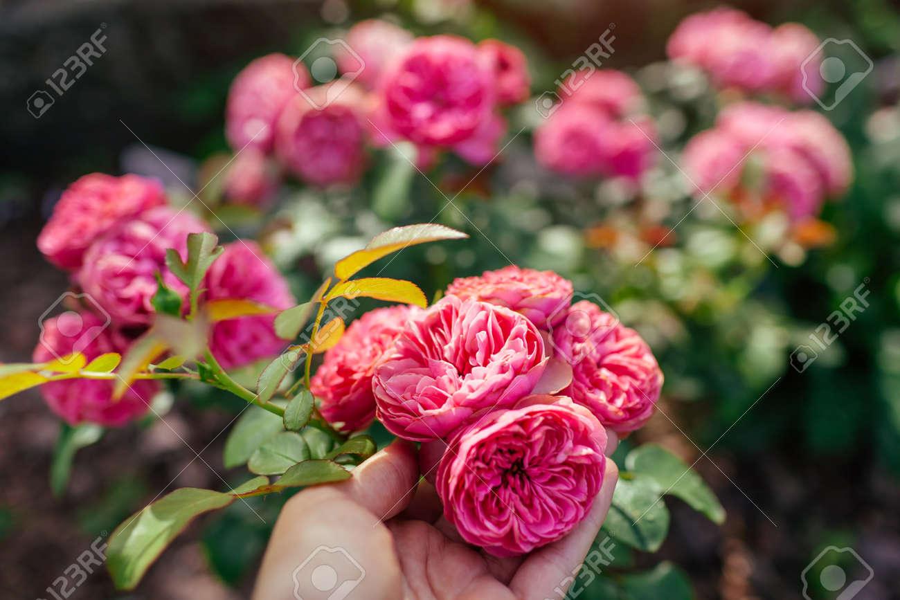 Leonardo da Vinci hot pink rose blooming in summer garden. Gardener enjoys blossom. Meilland selection roses flowers - 171871877
