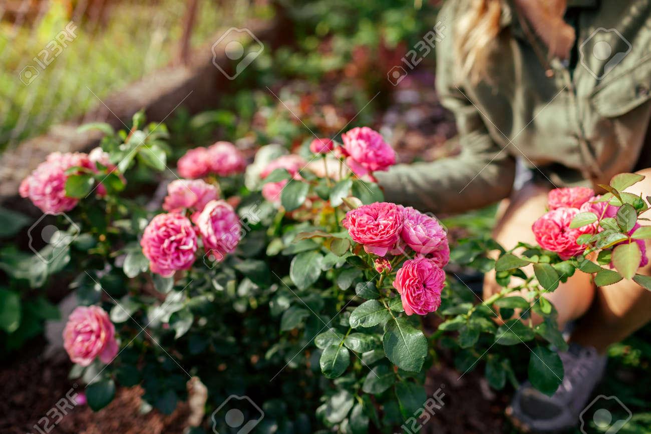 Leonardo da Vinci pink rose blooming in summer garden. Gardener woman enjoys blossom. Meilland selection roses flowers - 171871795
