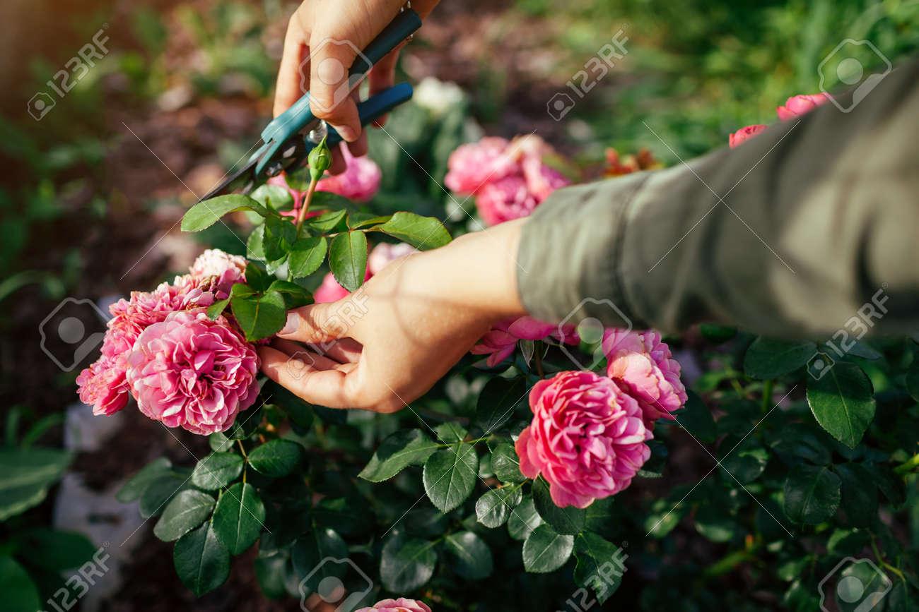 Woman deadheading dry leonardo da vinci rose in summer garden. Gardener cutting wilted spent flowers off with pruner. - 172013709