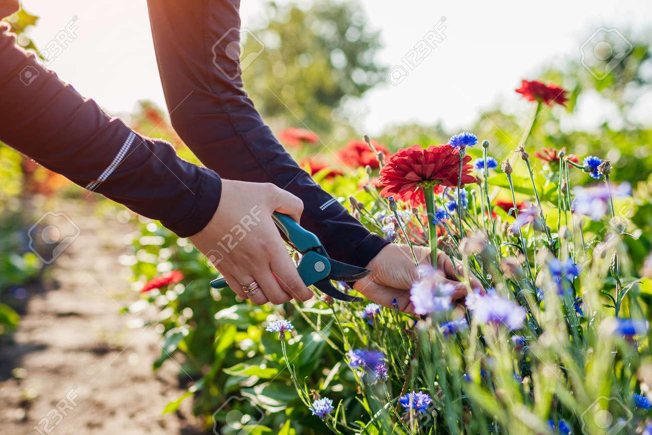 Woman gardener picks red zinnias and blue bachelor buttons in summer garden using pruner. Cut flowers harvest - 173065476