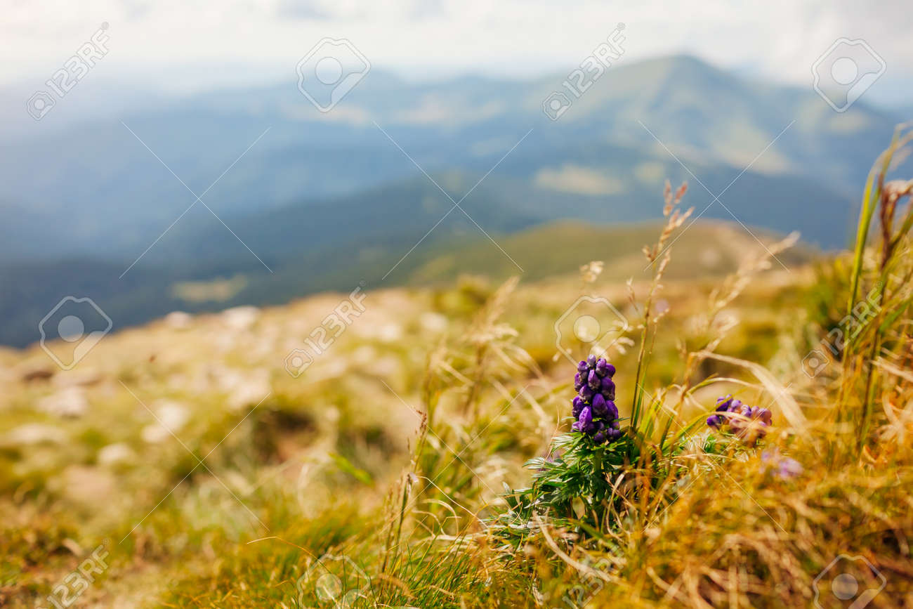View of summer mountain landscape in Carpathians with poisonous purple Aconite, monks-hood blooming in grass. Natural field meadow background - 173179555