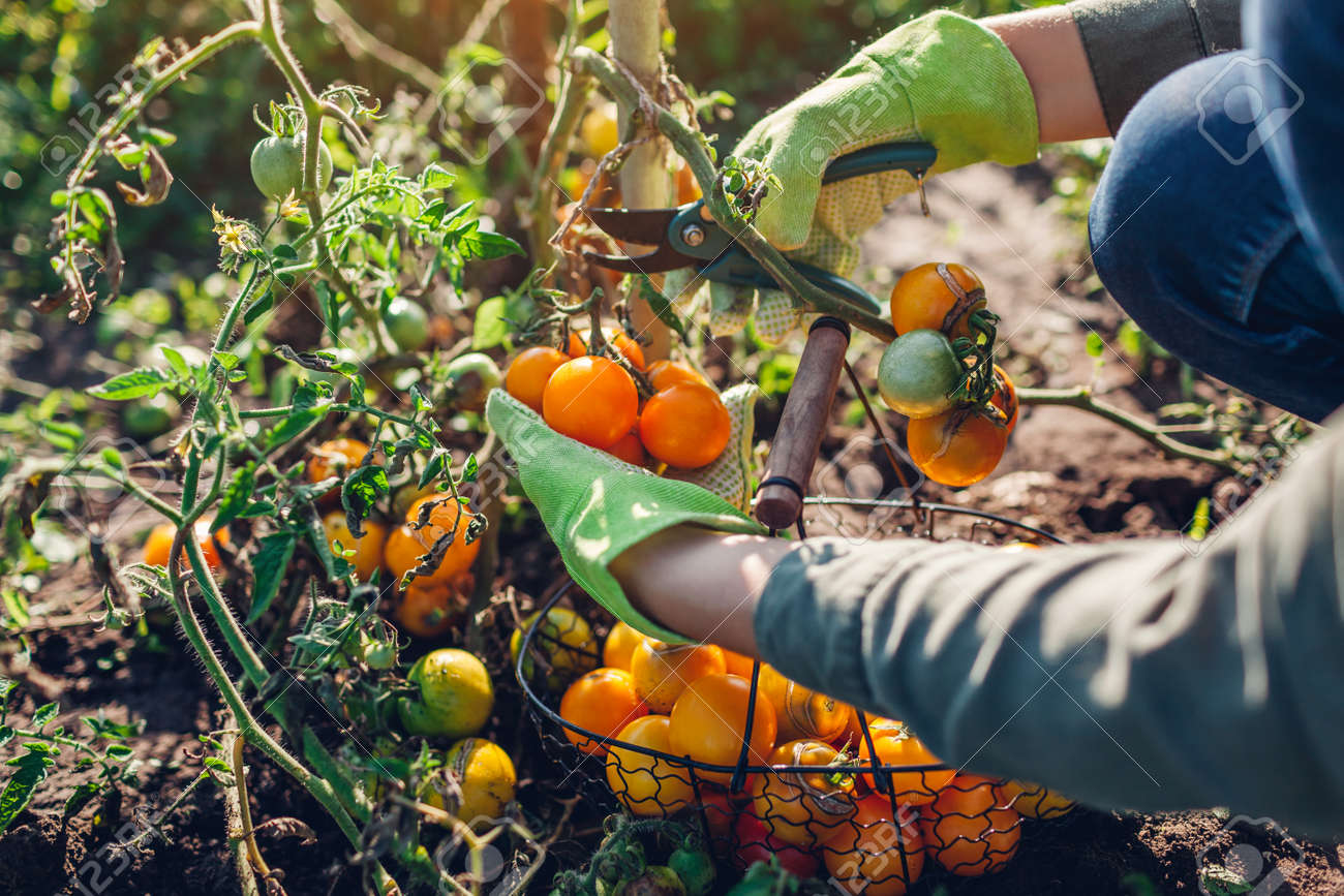 Woman farmer harvesting tomatoes cutting branch with pruner. Gardener puts vegetables in basket. Eco farm. Fall crop - 173243439