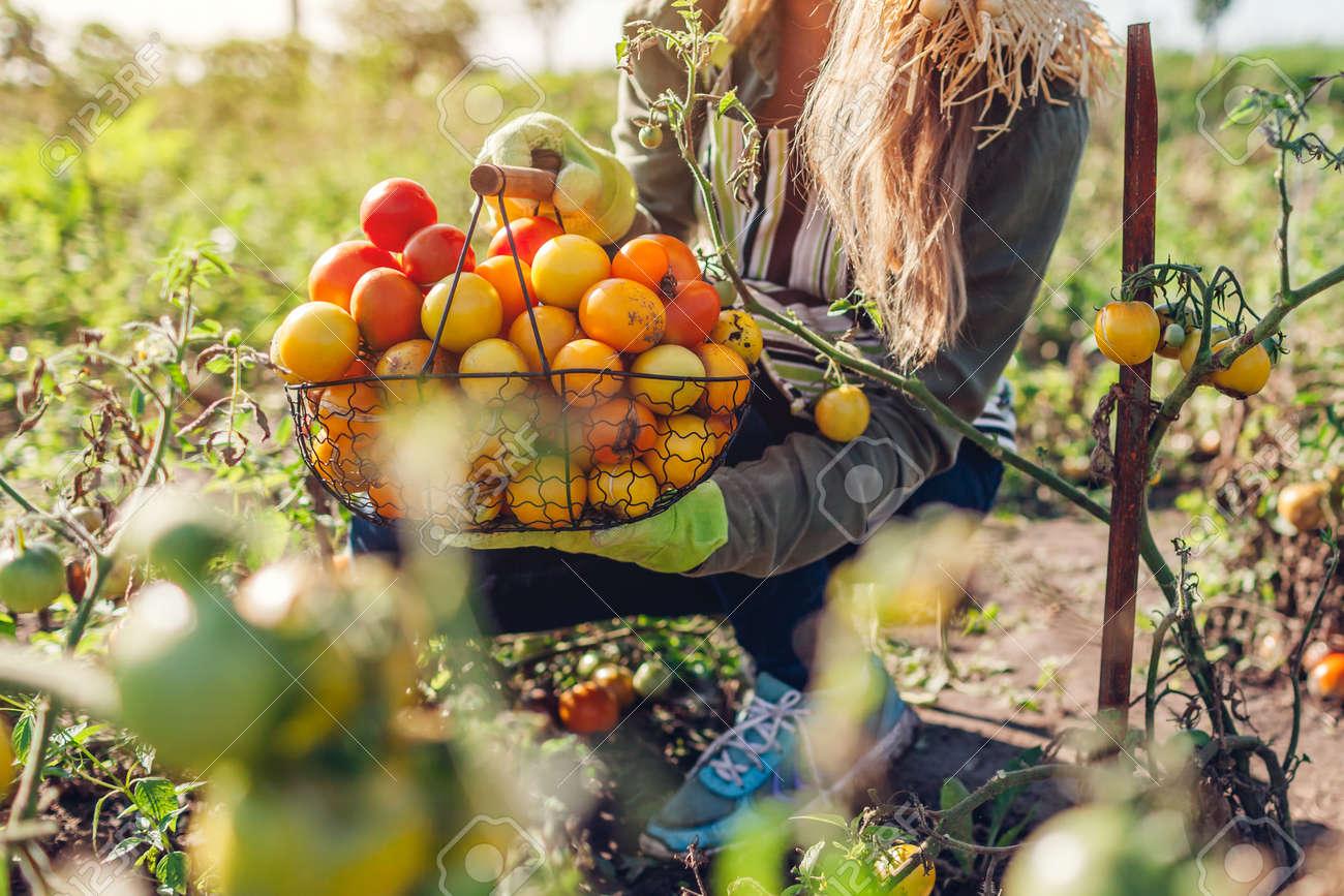 Woman farmer holding basket full of tomatoes. Harvesting fresh autumn crop of vegetables. Gardening. Growing healthy food - 173243509