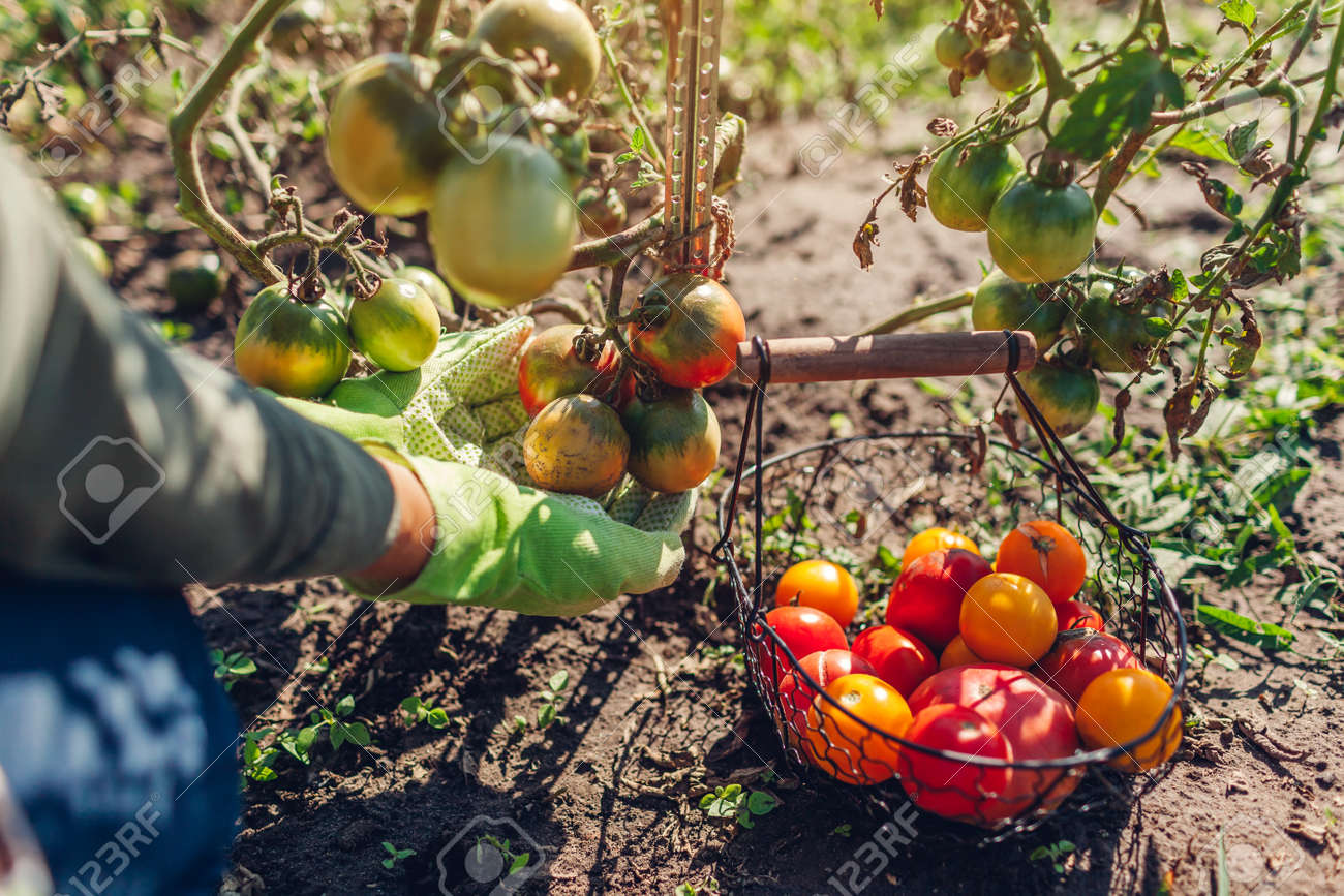 Woman farmer putting tomatoes in basket on summer farm. Picking fall crop of vegetables. Harvesting time on eco farm - 173243483