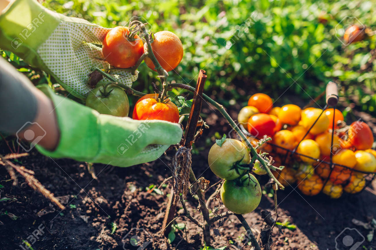 Woman farmer putting tomatoes in basket on summer farm. Picking fall crop of vegetables. Harvesting time on eco farm - 173305970