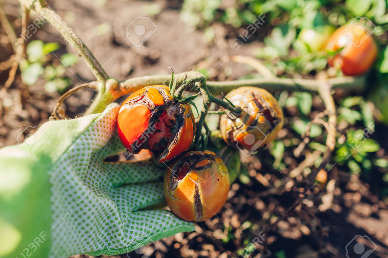 Tomatoes infected with late blight or Phytophthora. Close up of cracked tomatoes with disease and rot in farmer's hand. Overwatering of vegetables - 173728306