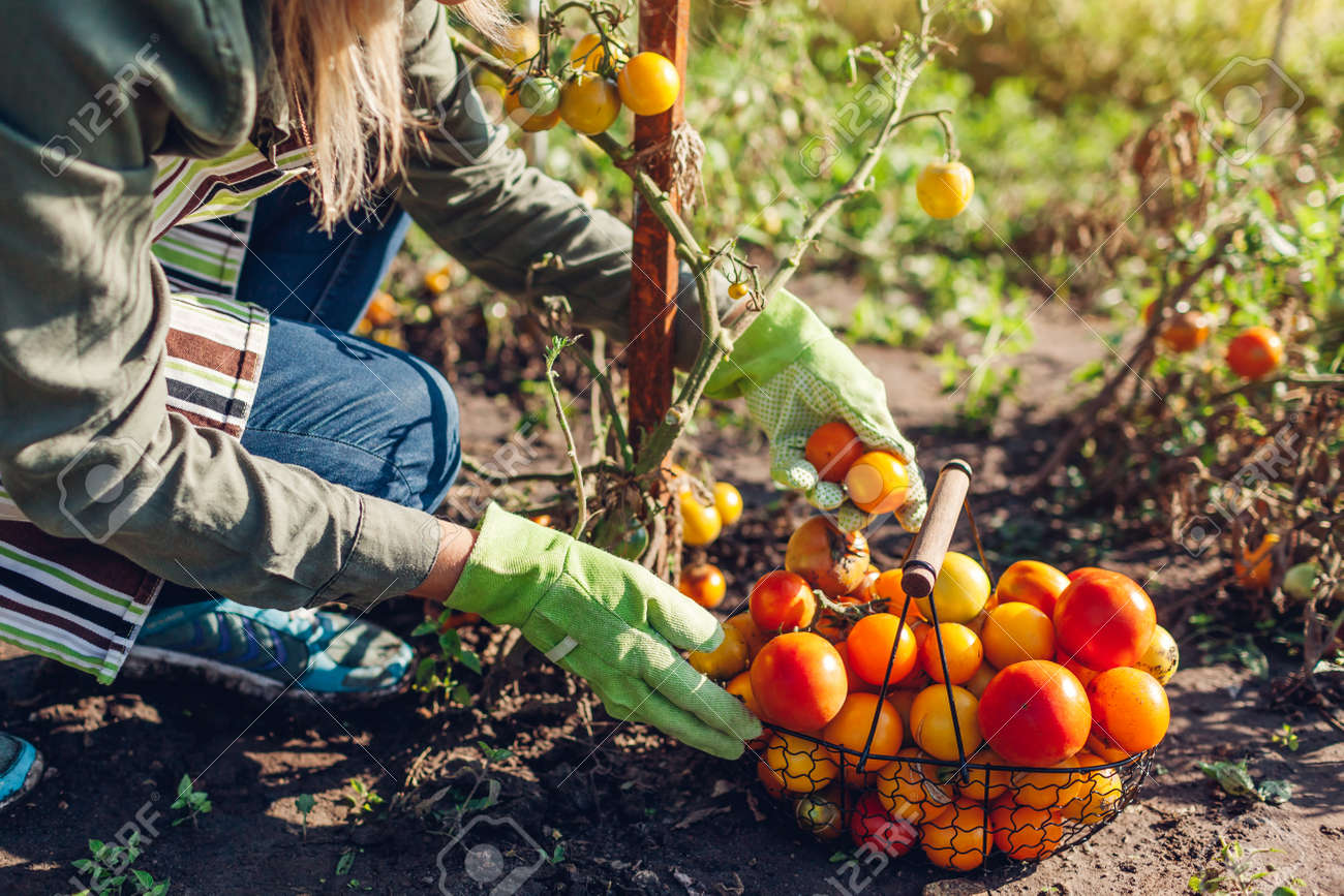 Woman farmer putting tomatoes in basket on summer farm. Picking fall crop of vegetables. Harvesting time on eco farm - 173306121