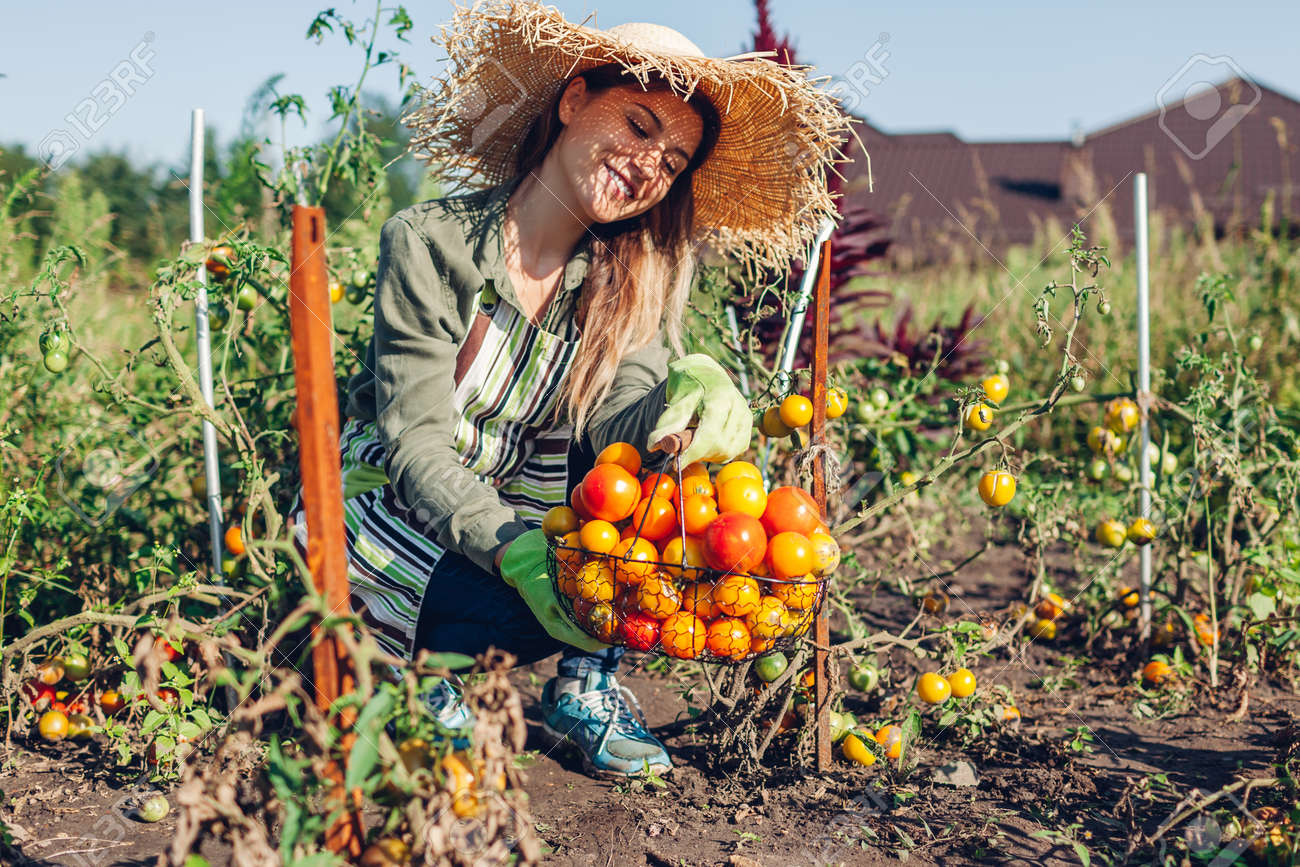 Woman farmer holding basket of tomatoes in summer garden. Picking fall crop of vegetables. Harvesting time on eco farm - 173306443