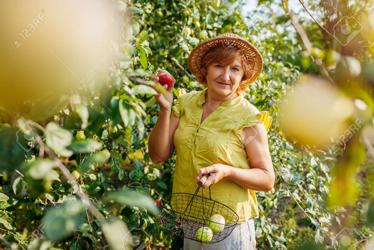 Senior woman gathering ripe organic apples in summer orchard. Farmer putting fruits in metal basket - 173943690