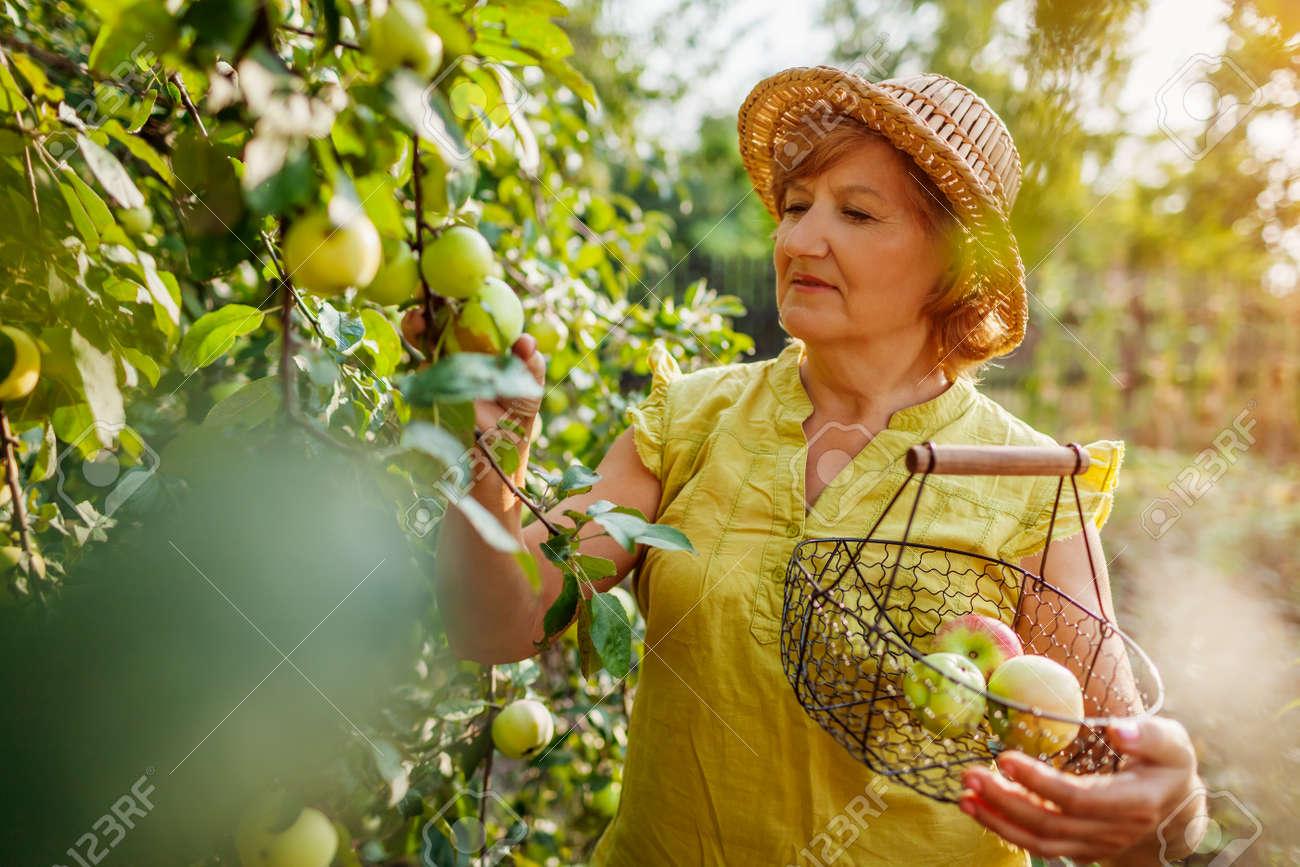 Senior woman gathering ripe organic apples in summer orchard. Farmer putting fruits in metal basket - 173943748