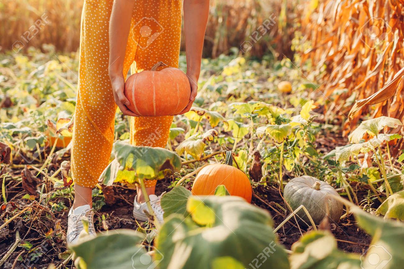 Pumpkins.Woman farmer picking autumn crop of pumpkins on farm. Agriculture. Thanksgiving and Halloween - 173944078