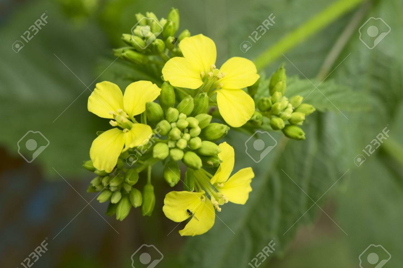 Mustard Flower Sinapis Aiba Yellow Flowers And Plant Nature Stock