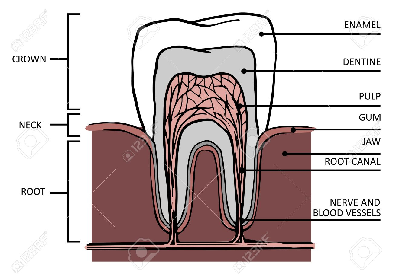 Tooth Structure Anatomy Of Teeth Royalty Free Cliparts, Vectors, And ...