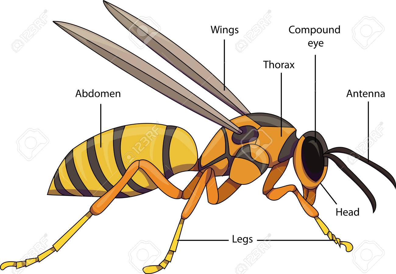 Vector Illustration Of An Insect Diagram With Labeled Parts