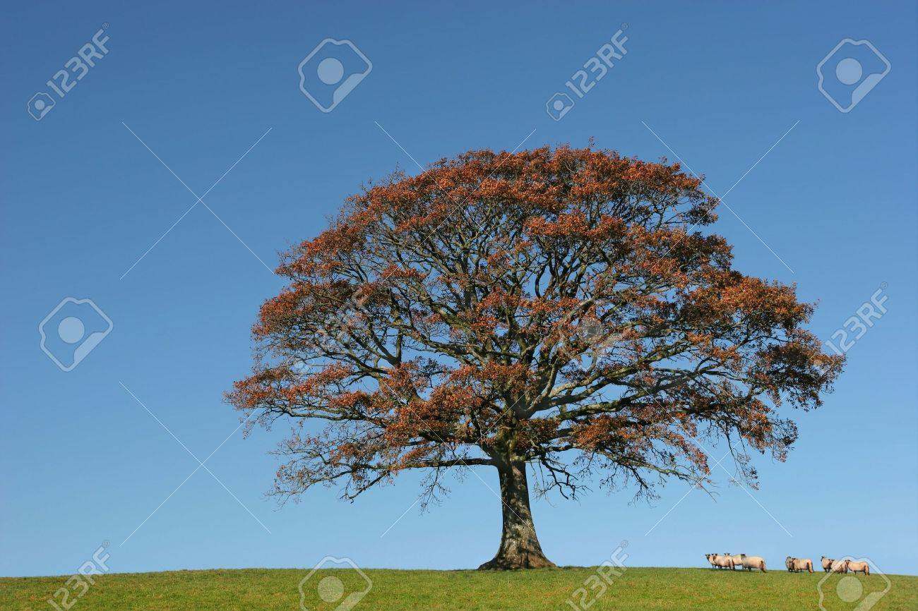 Oak tree in Autumn in a field with a herd of sheep, set against a clear blue sky. Stock Photo - 643183