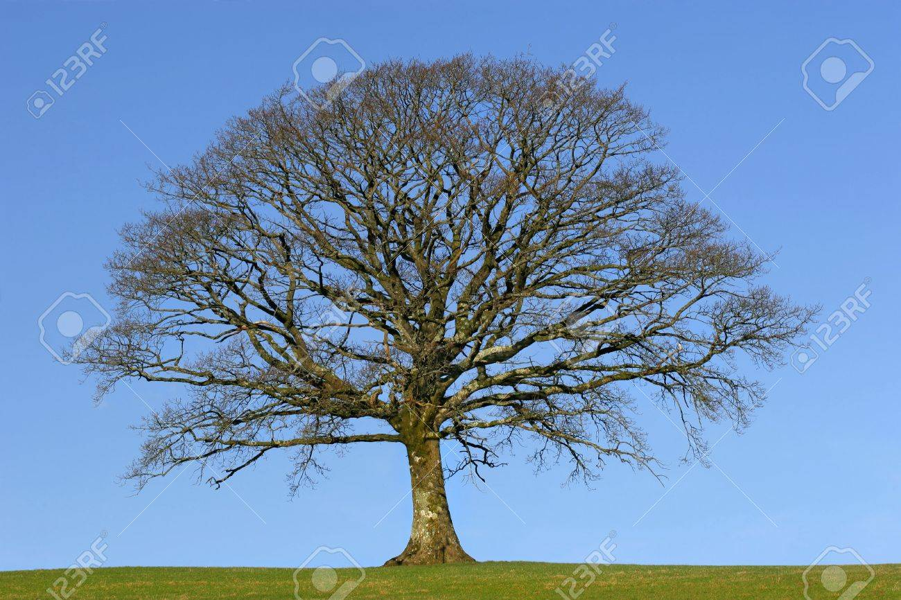 Oak tree in a field in Winter, devoid of leaves, with grass to the foreground, set against a clear blue sky. Stock Photo - 804769